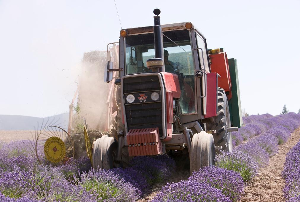 Traktor bei der Lavendelernte